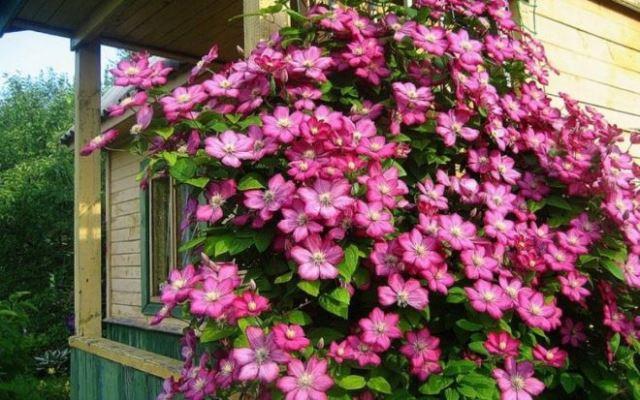 Стена дома украшенная цветком клематиса