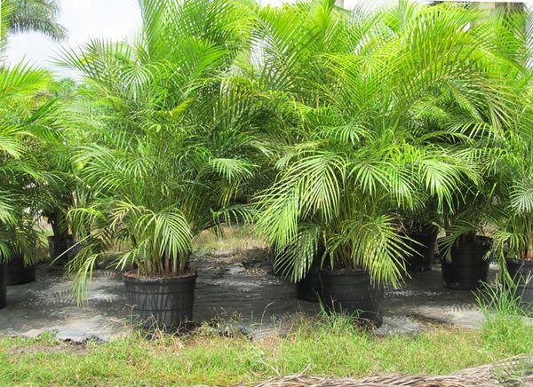Размножение пальма
