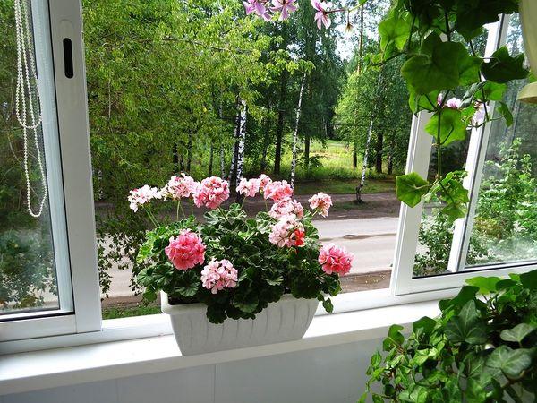 герань окно
