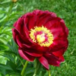 Пион Китайский национальный цветок