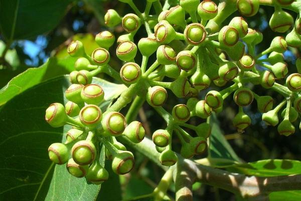 Цветет дерево на 5-7 год своей жизни, плоды созревают и могут сохраняться несколько лет