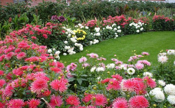 цветет георгин