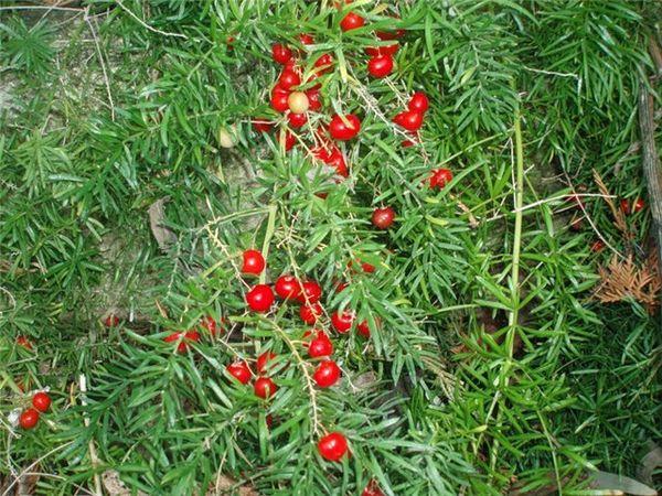 ягоды аспарагуса