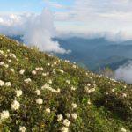 Цветение рододендрона кавказского