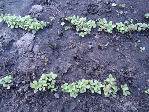 Всходы семян Наперстянки