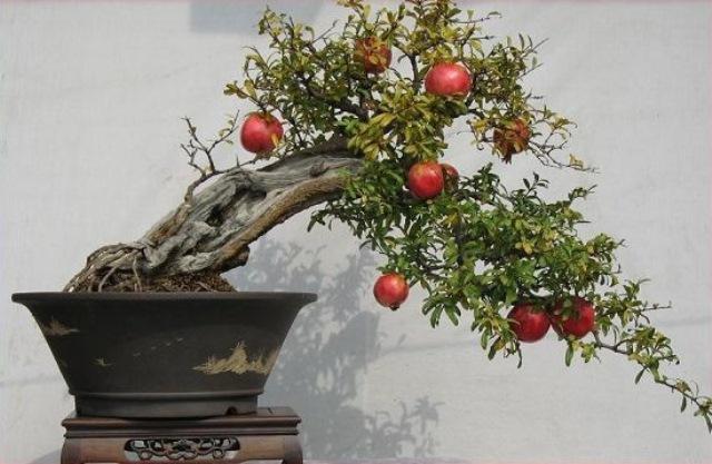 Гранатовое дерево в стиле японского бансай