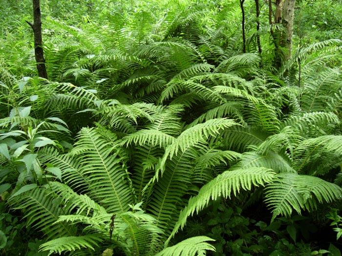 Заросли папоротника в естественной среде обитания