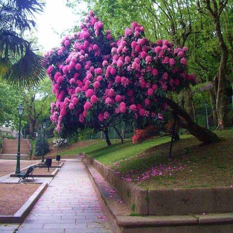 Алея украшенная цветением рододендроны