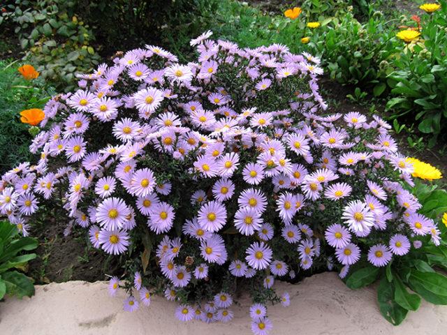 Куст цветущих сентябринок