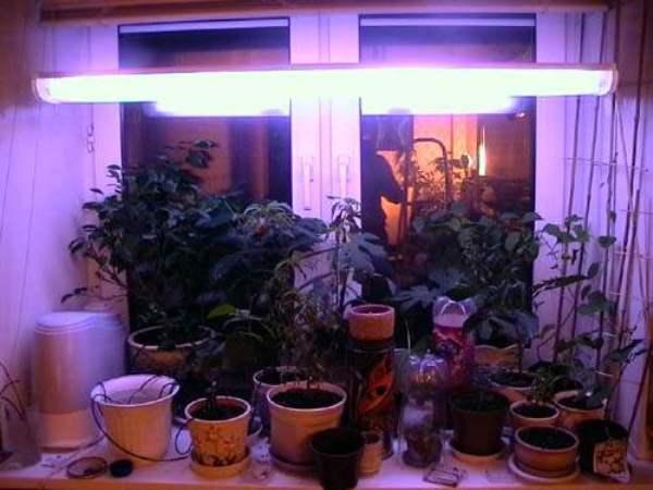 Для растений, которые продолжают вегетацию, зимой потребуется дополнительный источник освещения