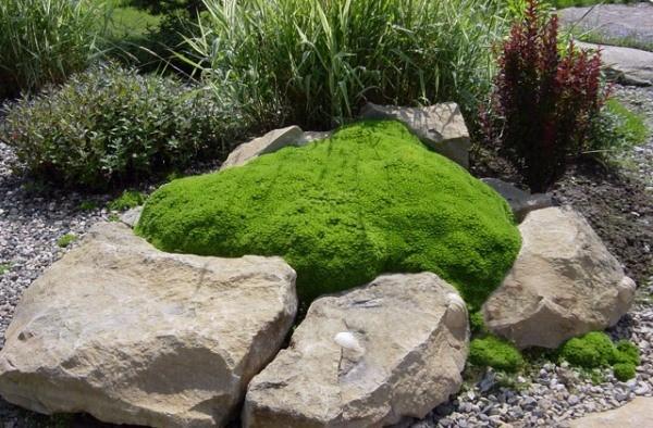 Камнеломка в ландшафтном дизайне