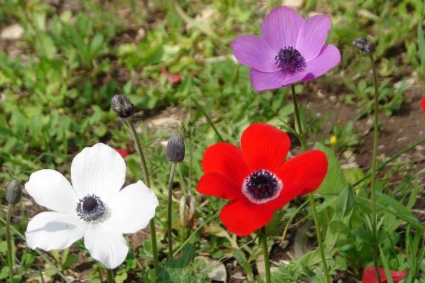 Ветреница (анемона) — что это, где такой цветок растет в России