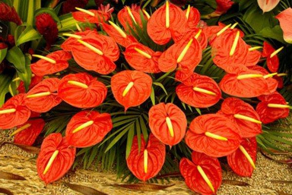 Антуриум в период цветения