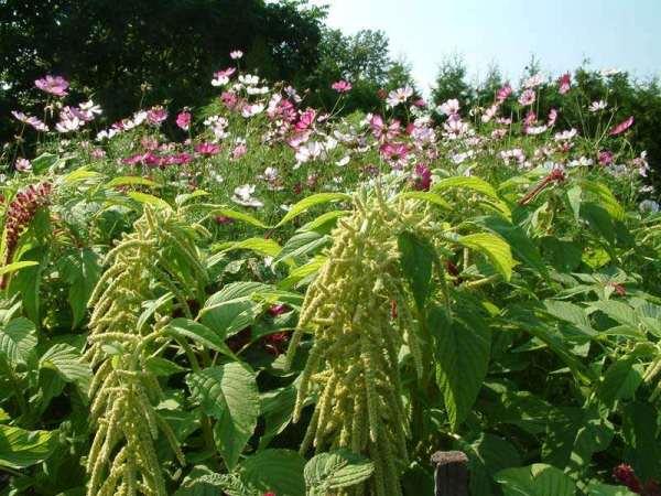 Самое важное при выращивании Амаранта – проводить своевременные и регулярные поливы