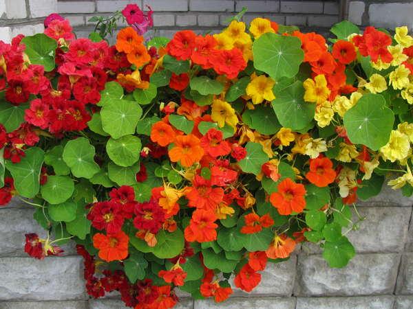 Выращивание на балконе настурции
