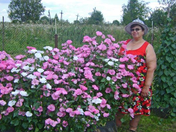 Размеры, до которых могут вырасти цветы лаватеры