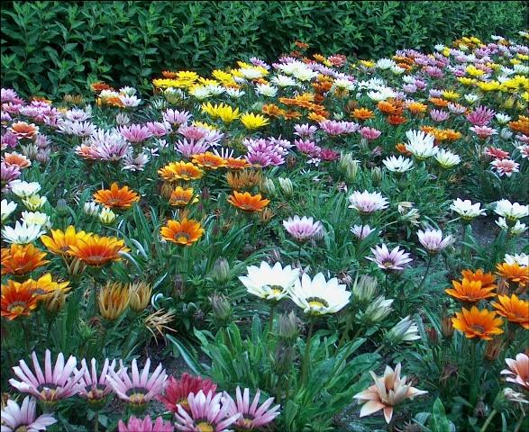 Полянка цветка газмания