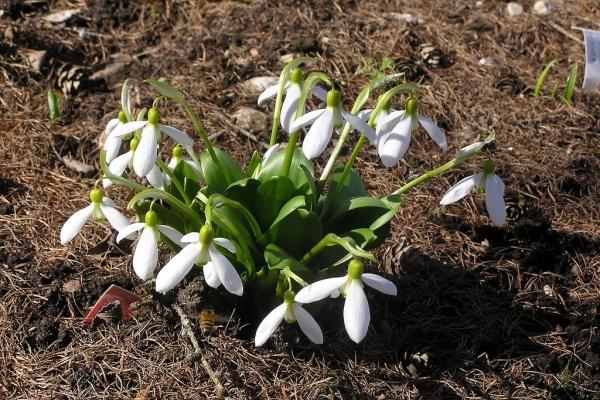 Ядовитое растение, используется для лечения множества заболеваний