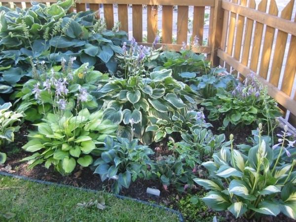 Хоста впишется в любую садовую композицию