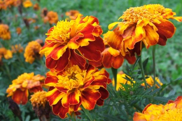 Лечебные свойства и противопоказания цветов бархатцев