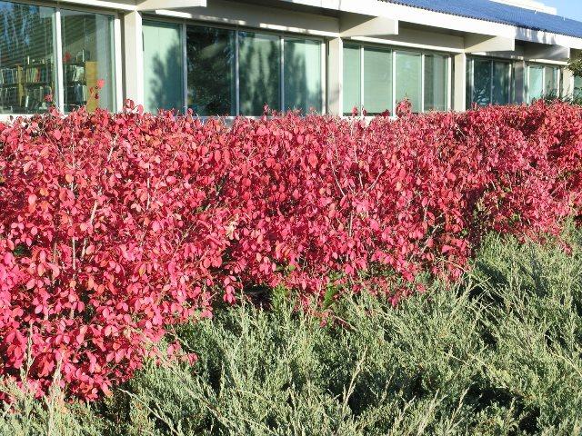 Живая изгородь из кустарника бересклета еввропейский
