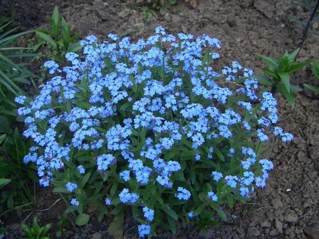 Цветение цветка незабудки