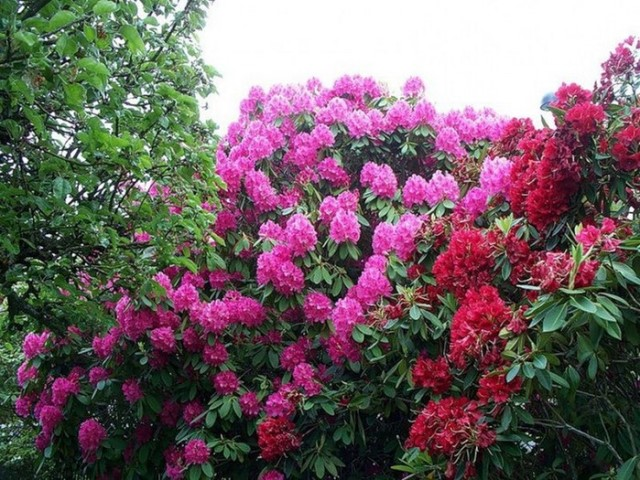 Цветение рододендроны