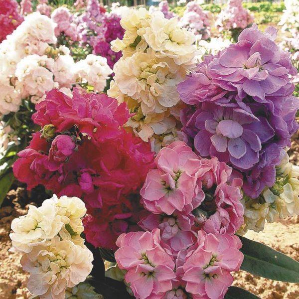 Красивый букет из цветов левкоя