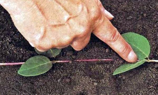 Клематис Тангутский можно размножать с помощью отводков