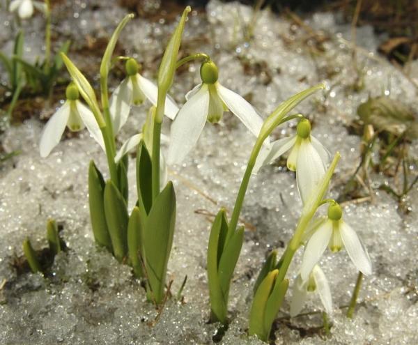 Цветение начинается в апреле, продолжается месяц