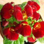 Многоцветковая