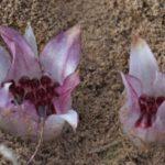 Ризентелла подземный цветок