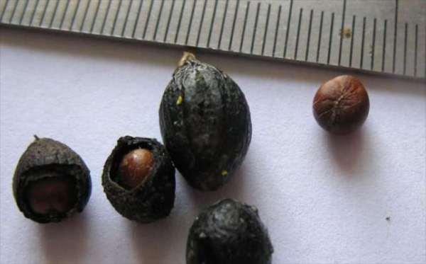 Семена пальмы Вашингтония