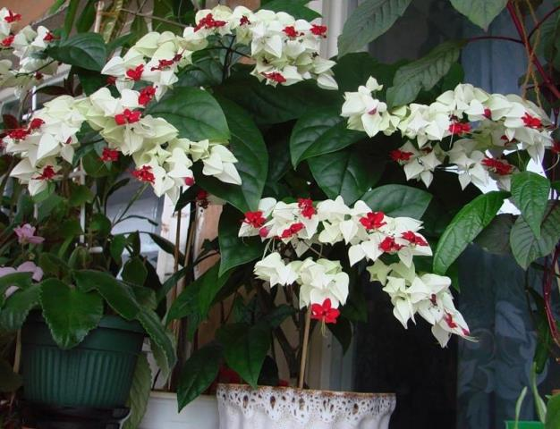 Цветение дерева в домашних условиях