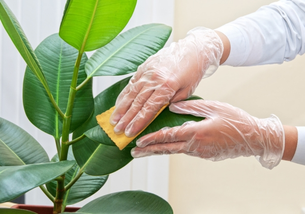 Фикусу нужно протирать листья влажной тряпочкой или помыть его душем