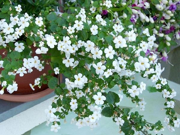цветение бакопы
