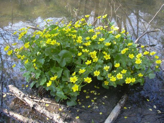 Цветы калужницы у заболоченного берега реки