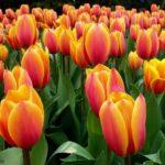 Быстрорастущие тюльпаны