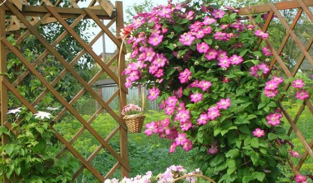Декоративный забор украшенный клематисом