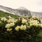 Луга на склоне гор с цветками рододендрона