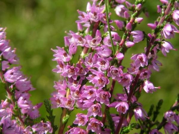 Нежные цветки вереска крупным планом