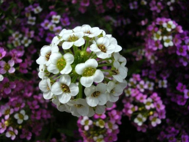 Фото цветка алиссум крупным планом