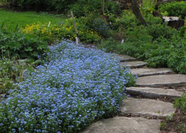 Цветение на садовом участке цветка незабудка