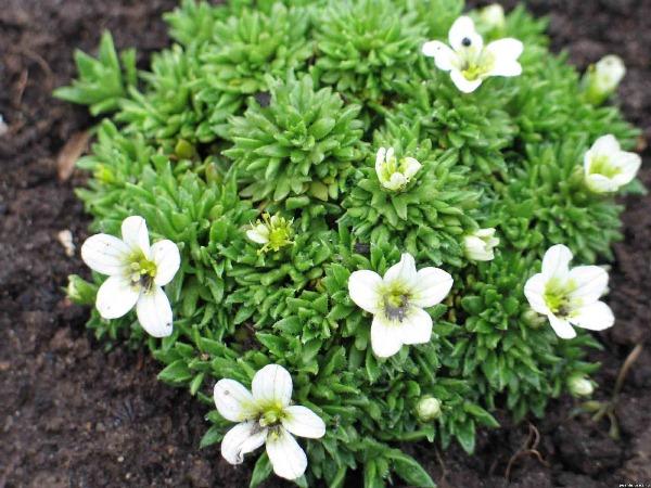 Приступать к размножению Камнеломки черенками можно только после того как период цветения растения завершится