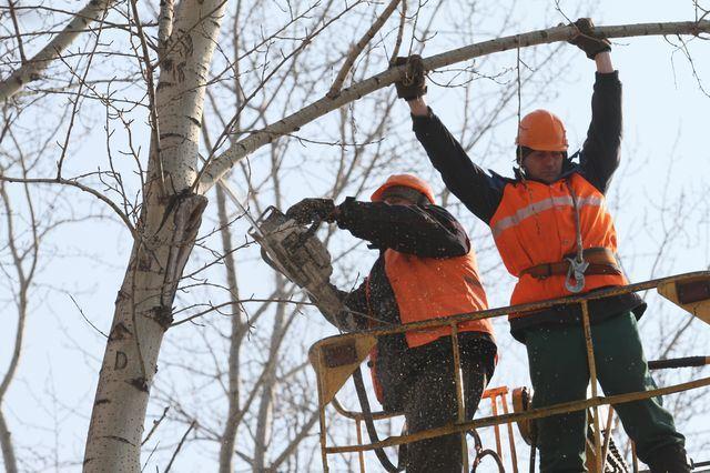 Обрезка дерева на высоте с помощью подъемника
