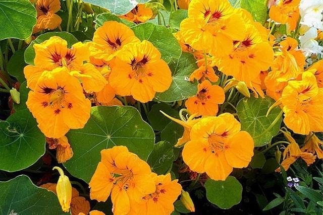 Цветение цветка настурация