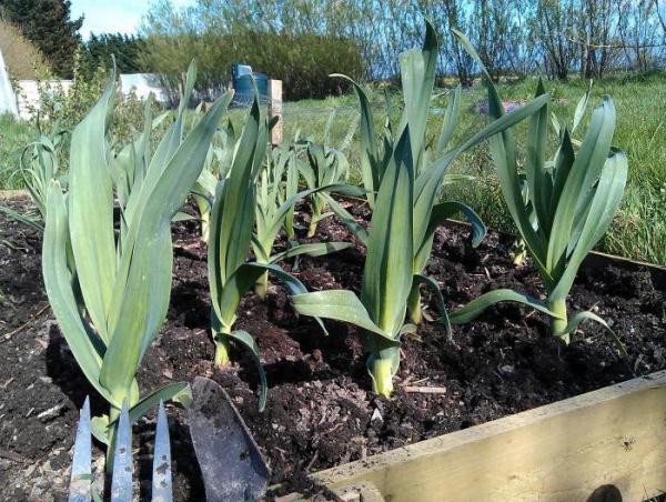 Размножают лук слизун семенами и вегетативно (частями куста или побегами)