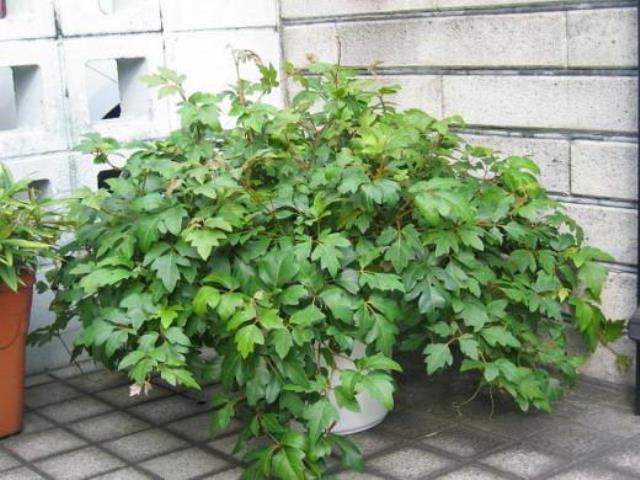 Растение березка возле дома