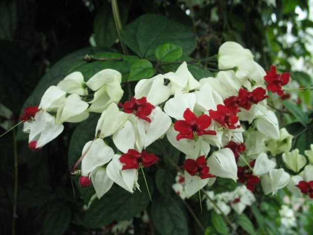 Цветение клеродендрум томпсона