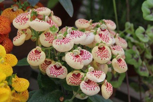 Белые с красными вкраплениями цветы кальцеолярии